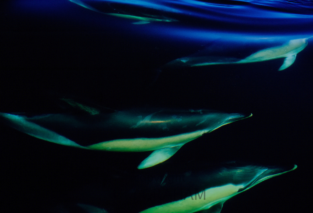School of dolphins swimming under the sea in the Mediterranean Sea  off the coast of southern Spain