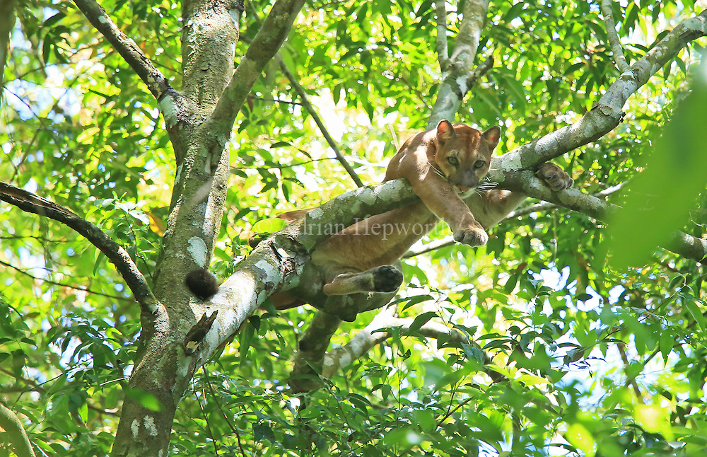 Wild puma (puma concolor) climbing in a tree. Sirena, Corcovado National Park, Osa, Costa Rica. <br /> <br /> For pricing click on ADD TO CART (above). We accept payments via PayPal.