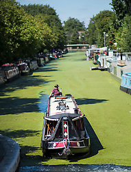 © Licensed to London News Pictures. 02/08/2018. London, UK. A canal boat makes it's way though duck weed covering Little Venice in London on another hot summers day. Another heatwave is expected to hit parts of the UK with record temperatures expected in parts of Europe. Photo credit: Ben Cawthra/LNP