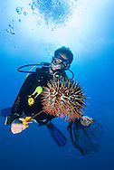 Malaysia, October 2010. A diver of B&J divers carefully removes a Crown of Thorns Seastar, also known as COTS, from the coral reef. Due to changing environment, the starfish population has exploded rapidly killing large quantities of Coral. The coral reefs of Tioman are slowly recovering from massive coral bleaching due to warm water caused by the el nino, la nina climate changes. Photo by Frits Meyst/Adventure4ever.com