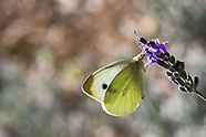 Pieris rapae - Cabbage White