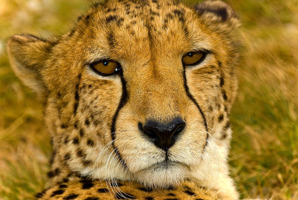 A cheetah, Lion Park, Johannesburg, South Africa