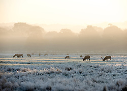 © Licensed to London News Pictures. 06/11/2014. Richmond, UK. Deer graze in a frosty field.  People and animals during a frosty start to the day on 6th November 2014. Temperature fell across the country overnight. Photo credit : Stephen Simpson/LNP