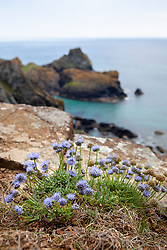 Sheep's Bit or Sheep Scabious growing wild on a cliff at The Lizard peninsula, Cornwall. Jasione montana syn. Alepidea ciliaris