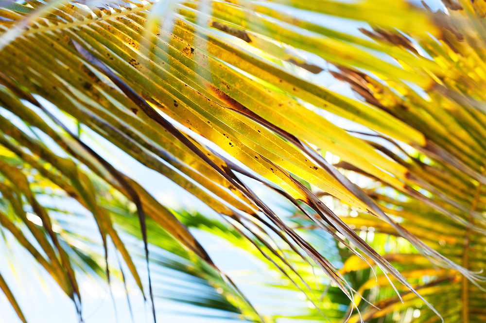 The close-up view of palm leaf in the Caribbean.