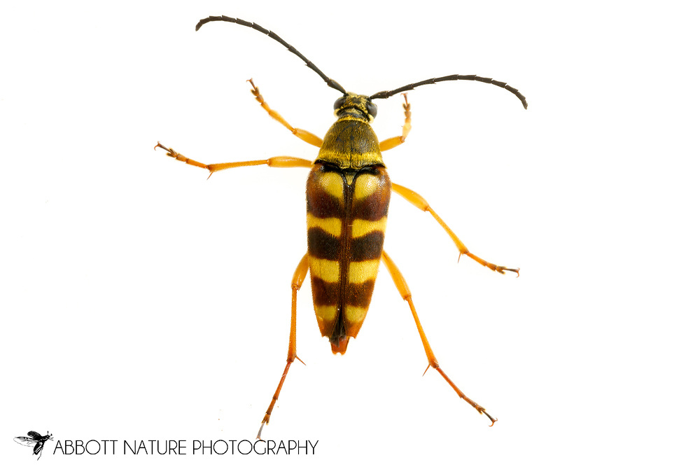 Banded Longhorn (Typocerus velutinus)<br /> United States: Alabama: Tuscaloosa Co.<br /> Tulip Tree Springs off Echola Rd.; Elrod<br /> 27-May-2017<br /> J.C. Abbott #2953