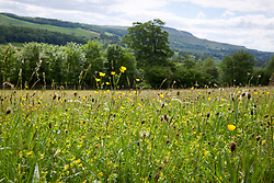 Meadow with yellow rattle, buttercups and plantains. Yorkshire