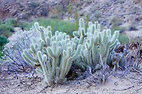 Cactus in Grand Canyon National Park, AZ.