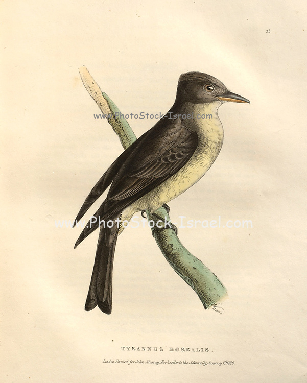 Tyrannus borealis (Northern Tyrant),  color plate of North American birds from Fauna boreali-americana; or, The zoology of the northern parts of British America, containing descriptions of the objects of natural history collected on the late northern land expeditions under command of Capt. Sir John Franklin by Richardson, John, Sir, 1787-1865 Published 1829