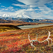 Caribou antlers on the Alaskan tundra in front of Denali (Mt. McKinley), highest mountain in all of North America, Denali National Park, Alaska.