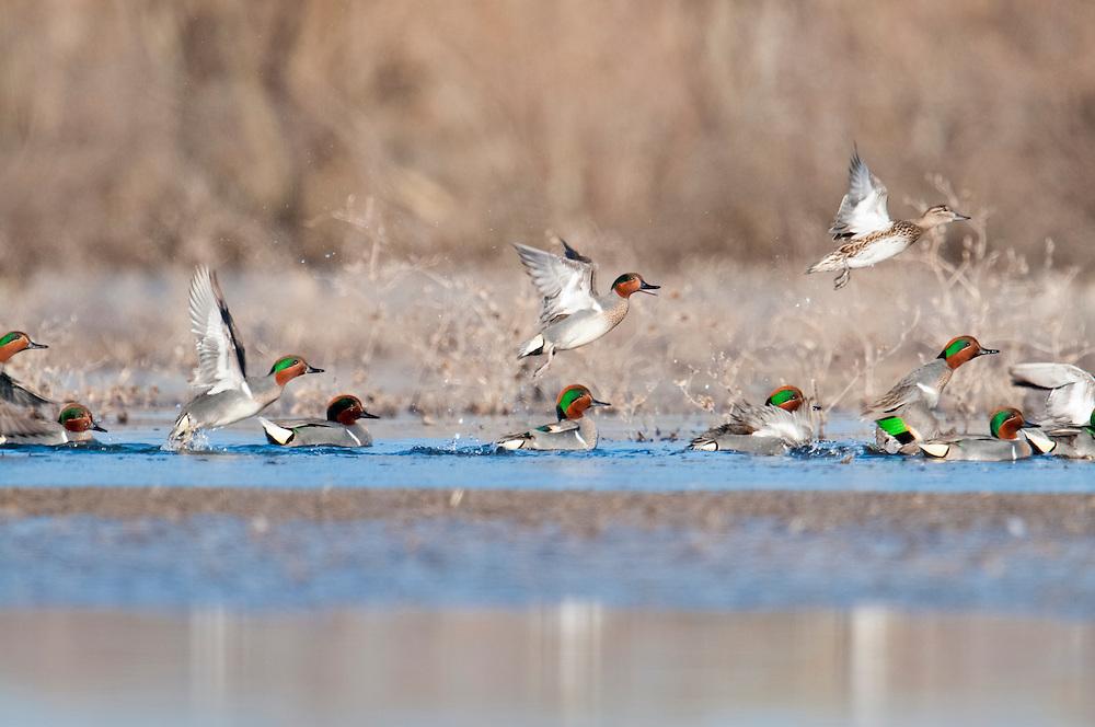 Green-winged Teal, Anas carolinensis, Shiawassee River, Saginaw County, Michigan
