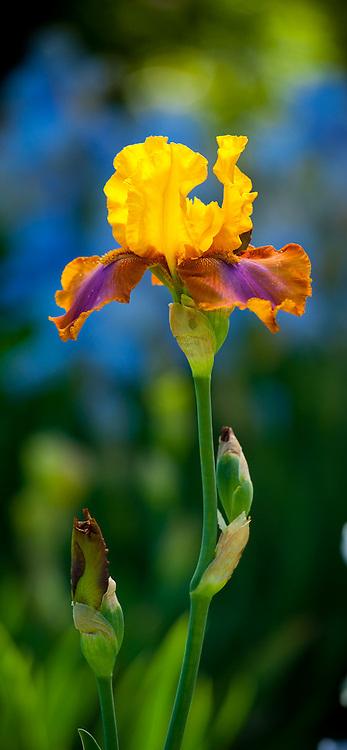 Iris 'Hi Calypso', Tall bearded iris, lilac garden