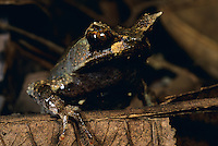 Close-up of a Southeast Asian Horned Toad (Megophrys stejnegeri) amongst the leaf litter on the rain forest floor of Mindanao.