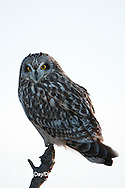 01113-01401 Short-eared Owl (Asio flammeus) on snag, Prairie Ridge State Natural Area, Marion Co., IL