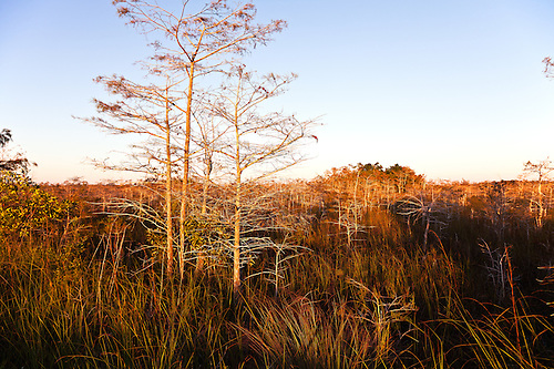 Medium image of morning sun washes over bald cypress trees in the florida everglades sawgrass prairie  watermarks will