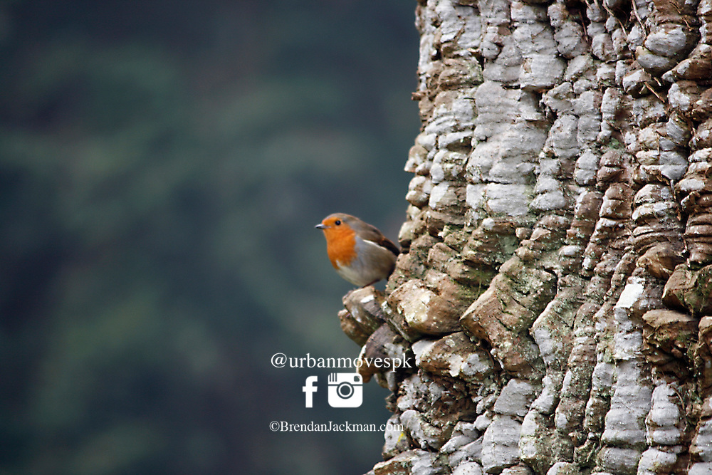 Red robin perched on the bark of a monkey puzzle tree.