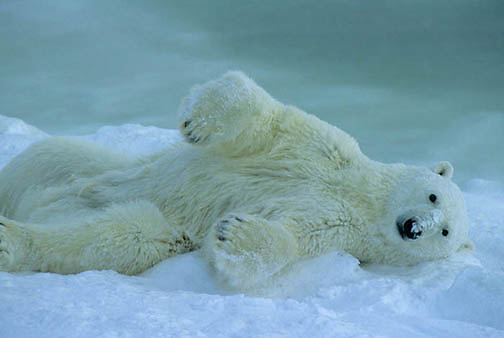 Polar Bear, (Ursus maritimus) Adult rolling in snow after swim. Churchill, Manitoba. Canada.