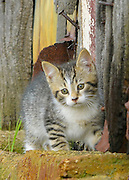 Tabby kitten near barn door