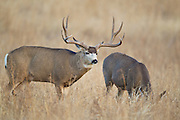 Trophy mule deer buck (Odocoileus hemionus)