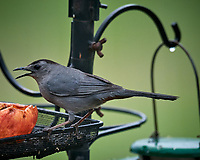 Gray Catbird. Image taken with a Nikon D5 camera and 600 mm f/4 VR telephoto lens (ISO 1600, 600 mm, f/5.6, 1/400 sec).