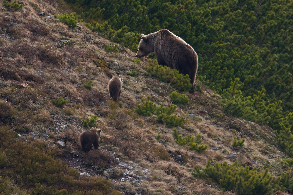 Wild European Brown bear (Ursus arctos), female with two yearling cubs feeding among Dwarf pines (Pinus mugo). Western Tatras, Slovakia. June 2009. Mission: Ticha