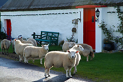 July 21, 2019 - Sheep At Traditional Cottage In Malin Head, Donegal, Ireland (Credit Image: © Peter Zoeller/Design Pics via ZUMA Wire)