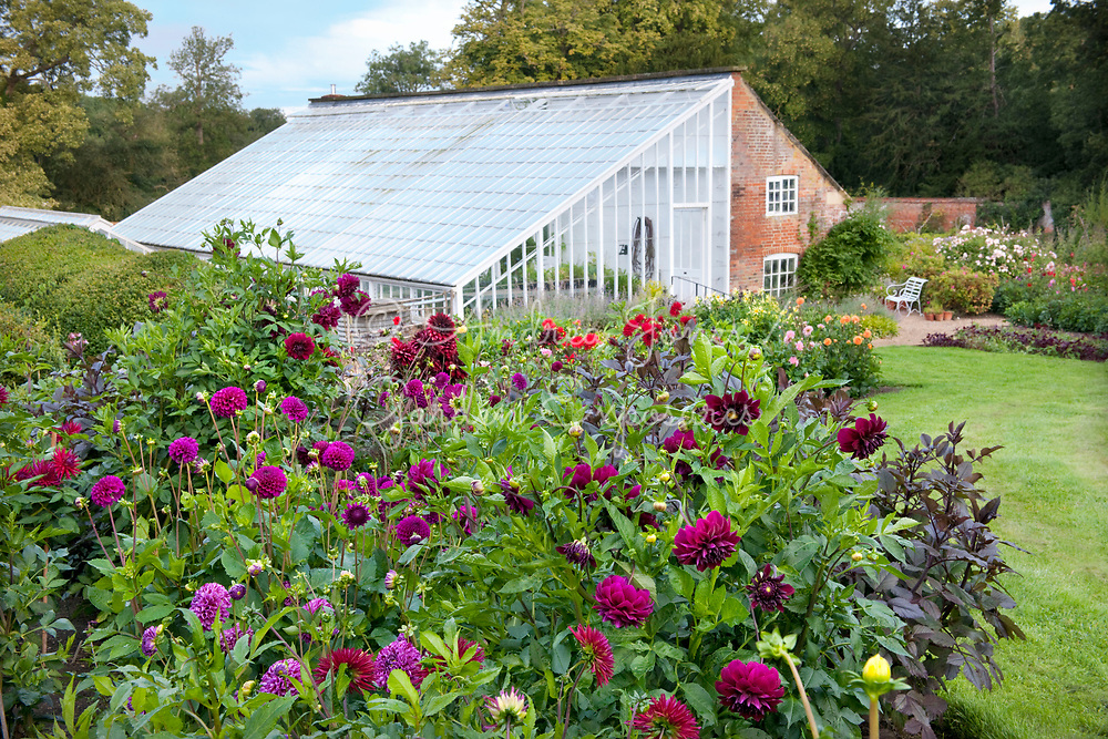 Dahlia variety borders leading to the glasshouse in the Walled Garden at Kelmarsh Hall & Gardens, Northamptonshire, England