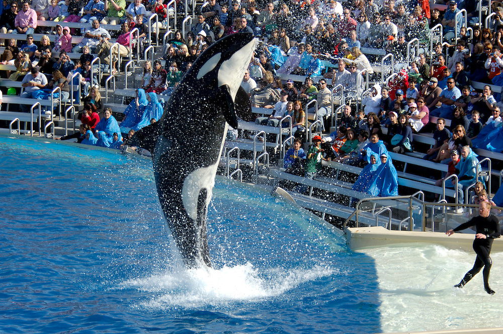 Shamu show, Killer Whale, Orca (Orcinus orca), Sea World, San Diego, California, United States of America