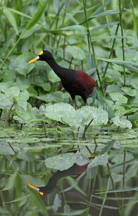 Northern Jacana (Jacana spinosa) on natural canal, Tortuguero National Park, Costa Rica. <br />