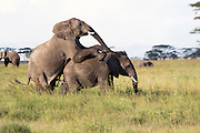 Africa, Tanzania, Serengeti National Park African Bush Elephants (Loxodonta africana) mating