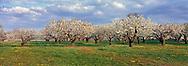Cherry Trees, Wickham's Fruit Farm, Cutchogue, NY, panorama