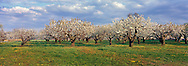 Cherry Trees, Wickham's Fruit Farm, Cutchogue, NY, panorama