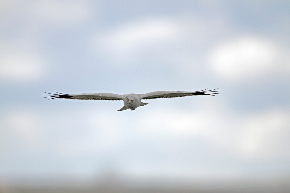 HEN HARRIER - Circus cyaneus - Male. Wingspan 100-120cm. Britain's most familiar harrier, usually seen gliding at slow speed, low over the ground. Adult male has pale blue-grey plumage except for white belly, white rump and black wingtips. Adult female is brown with darker barring on wings and tail, streaking on body underparts, and a narrow white rump. Juvenile is similar to adult female but breast and wing coverts are brighter. Voice – mainly silent. Status and habitat – Breeds on upland moorland, winters on lowland heaths and near coasts.