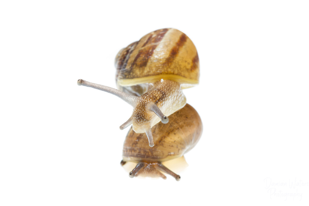 Pair of Copse snail, Arianta arbustorum, photographed in Meet Your Neighbours field studion, Wirral - June