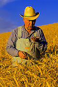Image of a farmer in a wheatfield checking grains of wheat, Waitsburg, Palouse, eastern Washington, Pacific Northwest, model released