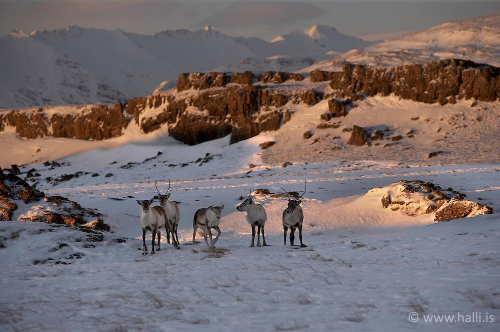 Hrindýr við Hornafjörð - Reindeers near Hornafjordur