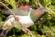 New Zealand Wood Pigeon eating leaves, Stewart Island, New Zealand