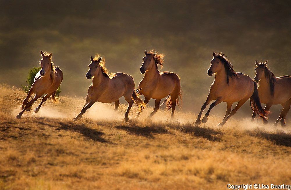 Wild Mustangs Running in Sync
