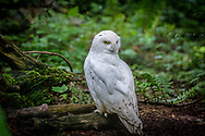 The snowy owl (Bubo scandiacus) is a large, white owl of the true owl family. Snowy owls are native to Arctic regions in North America and Eurasia. Males are almost all white, while females have more flecks of black plumage. Juvenile snowy owls have black feathers until they turn white.