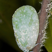 A mature Flatidae planthopper insect ona tree with nymph planthoppers in Khao Ang Rue Nai Sanctuary, Thailand. A plant hopper is any insect in the infraorder Fulgoromorpha within the Hemiptera. .