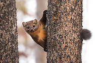 The elusive pine marten is a fast moving member of the weasel family. Although relatively common in northwest Wyoming, martens aren't often seen since they spend most of their time in trees hunting squirrels and chipmunks.
