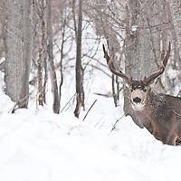 trophy muledeer buck approaching though deep snow aspen forest winter