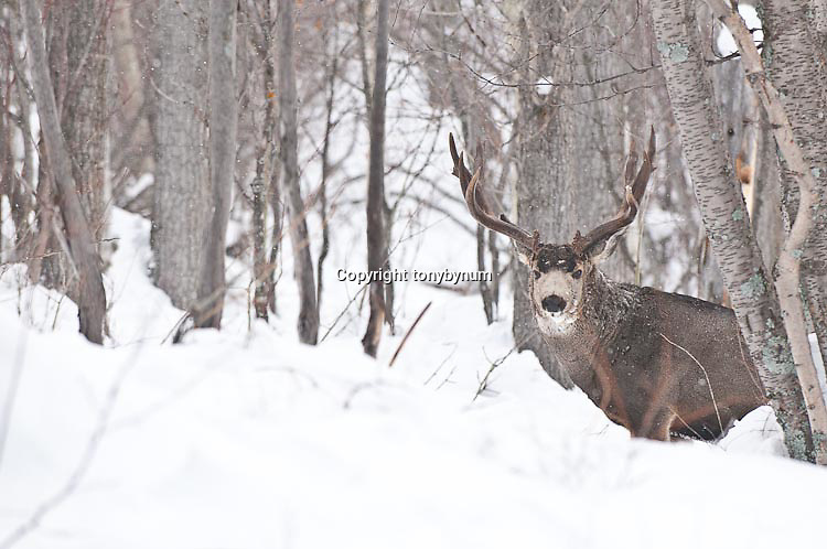 trophy muledeer buck approaching though deep snow aspen forest winter