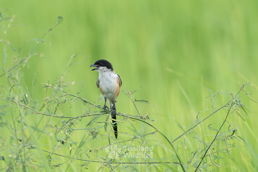 The long-tailed shrike or rufous-backed shrike (Lanius schach) is a member of the bird family Laniidae, the shrikes. They are found widely distributed across Asia and there are variations in plumage across the range