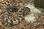 Canebrake or Timber Rattlesnake (Crotalus horridus) Adult, MANIPULATED, CAPTIVE<br /> The Orianne Indigo Snake Preserve<br /> Telfair County. Georgia<br /> USA<br /> HABITAT & RANGE: Coastal Habitat. South Eastern USA