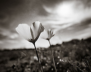 Duotone Flowers