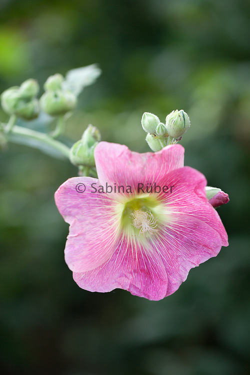 Alcea rosea - common hollyhock