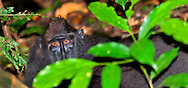 Alberto Carrera, Macaque, Celebes Crested Macaque, Crested Black Macaque, Macaca nigra, Tangkoko Nature Reserve, North Sulawesi, Indonesia, Asia