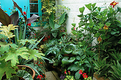 Tropical container planting in tiny passageway. Tetrapanax papyrifer in the foreground