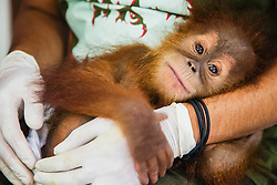 A critically endangered Sumatran orangutan infant (Pongo abelii) that was rescued from illegal pet traders after her mother was killed, safely rests in the arms of her keeper at the SOCP Quarantine Center where she needs to live until she is old enough to be released safely back into the wild, Medan, Sumatra, Indonesia